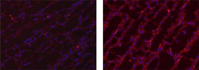 Rat IgG (H+L) Secondary Antibody in Immunohistochemistry (Frozen) (IHC (F))