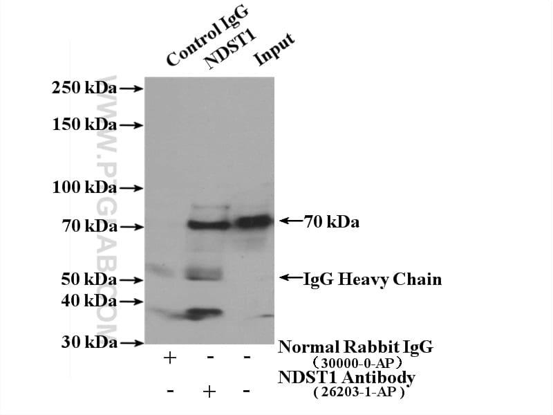 NDST1 Antibody in Immunoprecipitation (IP)