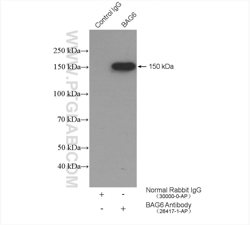 BAG6 Antibody in Immunoprecipitation (IP)