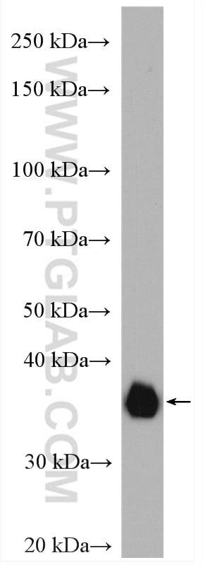 SFRP1 Antibody in Western Blot (WB)