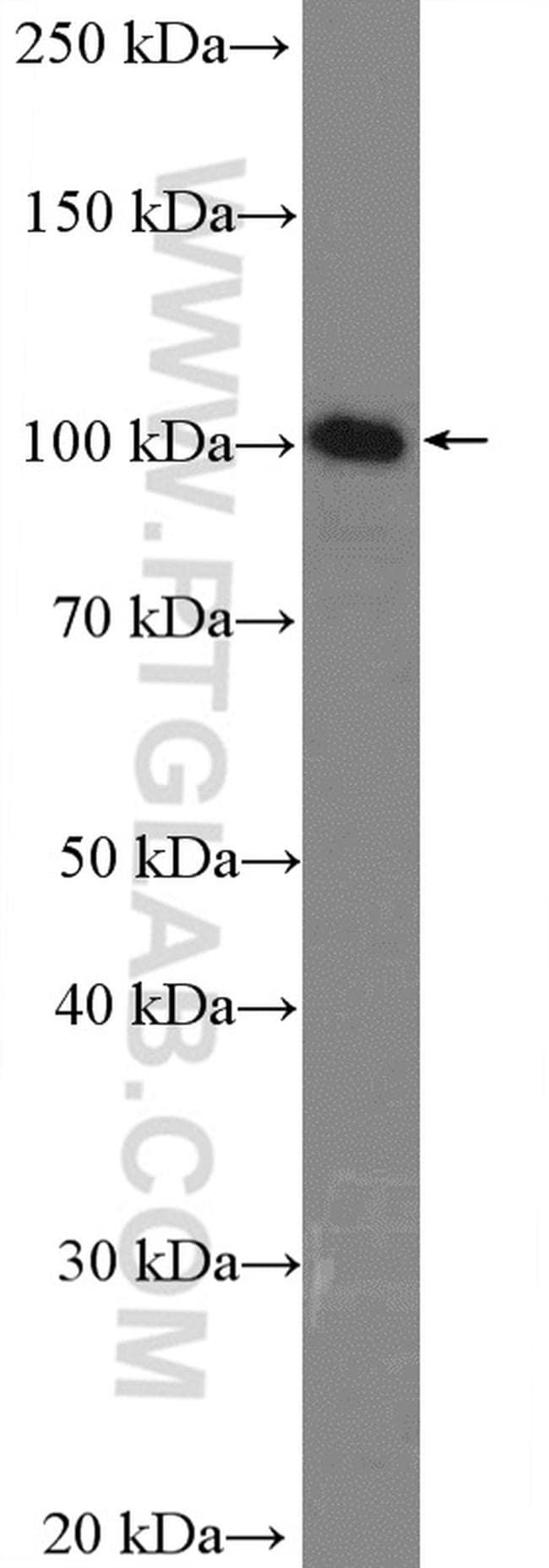 LIG3 Antibody in Western Blot (WB)