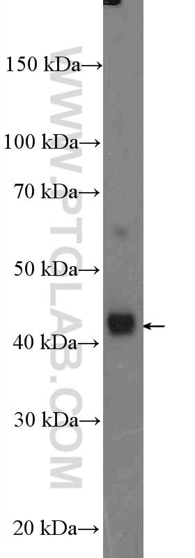 CYR61/CCN1 Antibody in Western Blot (WB)