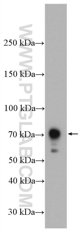 CXCR3 Antibody in Western Blot (WB)