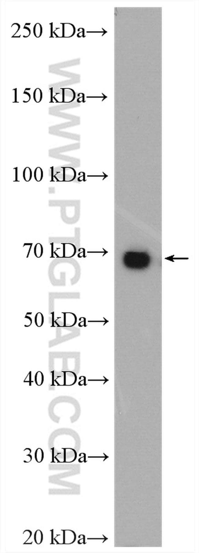 HGF alpha Antibody in Western Blot (WB)