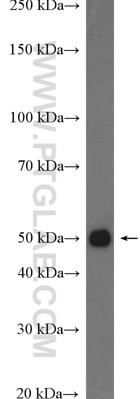 DUSP7/PYST2 Antibody in Western Blot (WB)