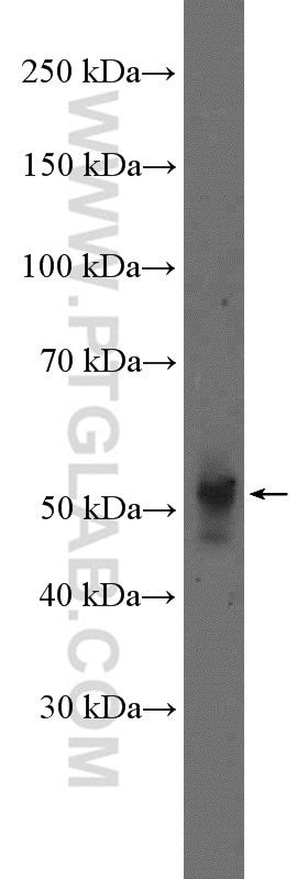 NeuN Antibody in Western Blot (WB)