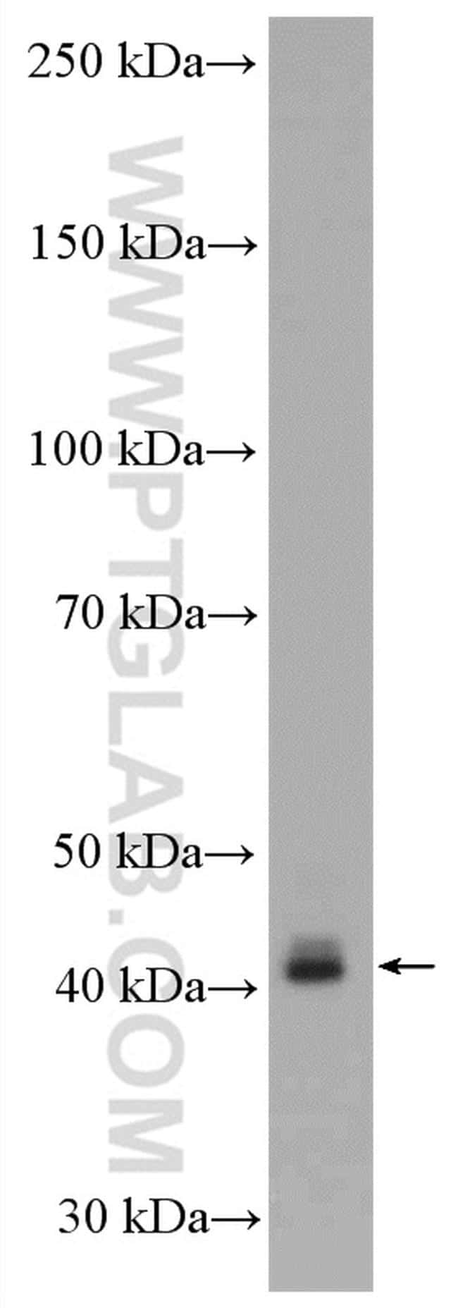 Connexin 43 Antibody in Western Blot (WB)