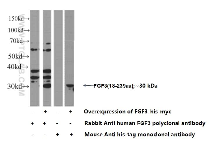 FGF3 Antibody in Western Blot (WB)