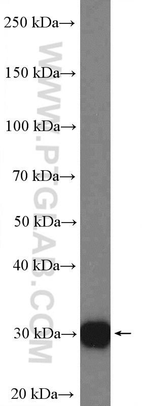 CCDC124 Antibody in Western Blot (WB)