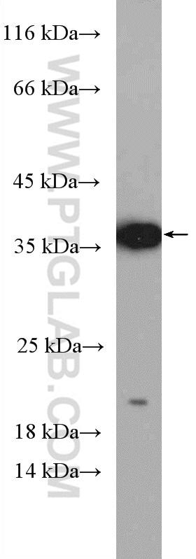 Caspase 7 Antibody in Western Blot (WB)