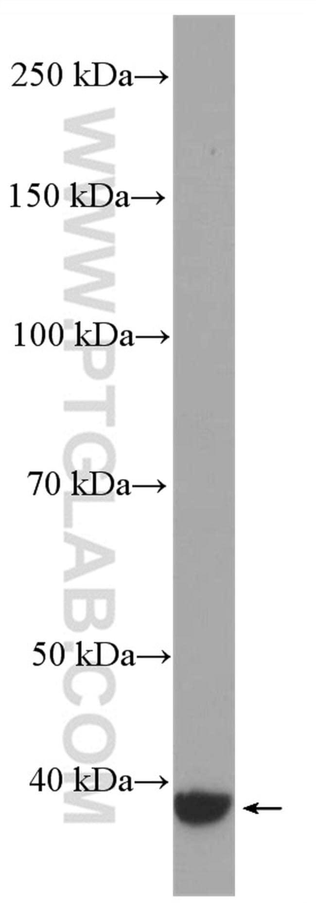 GNAQ Antibody in Western Blot (WB)