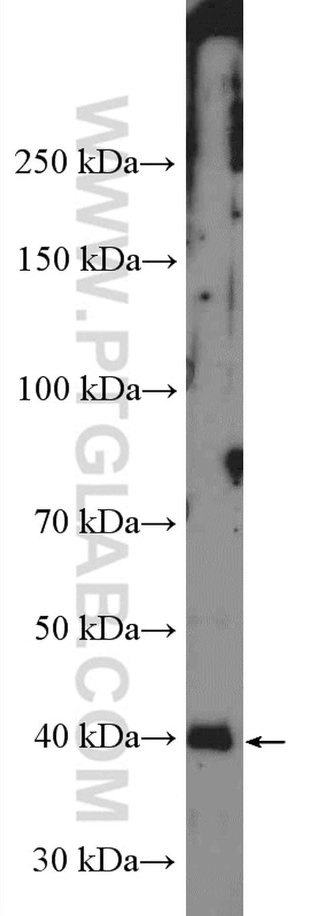 PRKACA Antibody in Western Blot (WB)