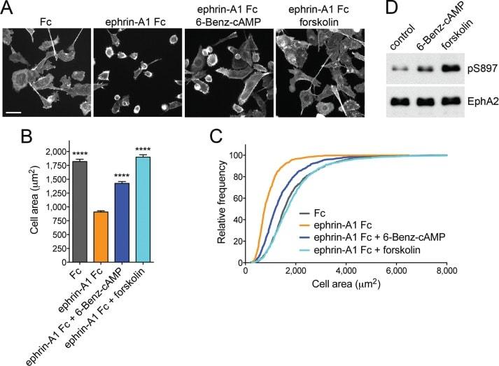 EphA2 Antibody