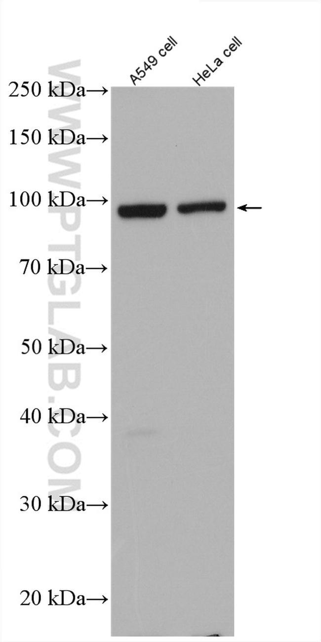 FAM91A1 Antibody in Western Blot (WB)