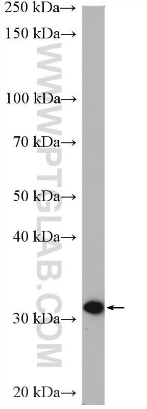 PBLD Antibody in Western Blot (WB)