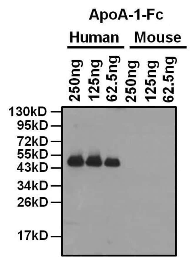 Mouse IgG Fc Cross-Adsorbed Secondary Antibody in Western Blot (WB)