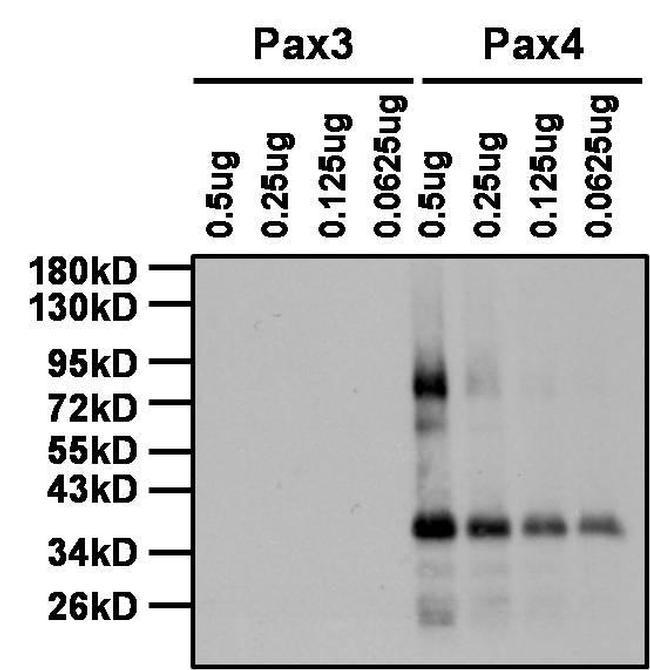 Rabbit IgG (H+L) Secondary Antibody in Western Blot (WB)