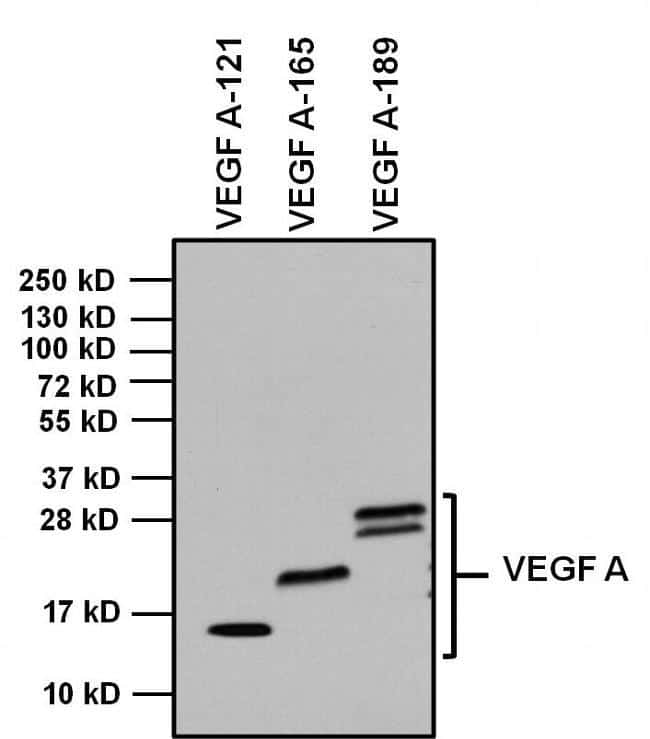 Rabbit IgG Fc Secondary Antibody in Western Blot (WB)