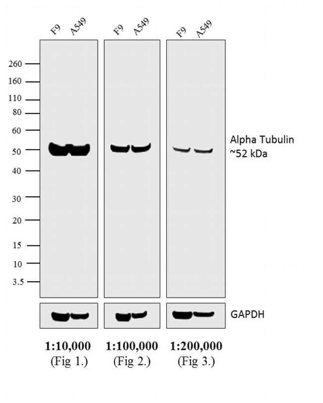 Rat IgG (H+L) Secondary Antibody in Western Blot (WB)