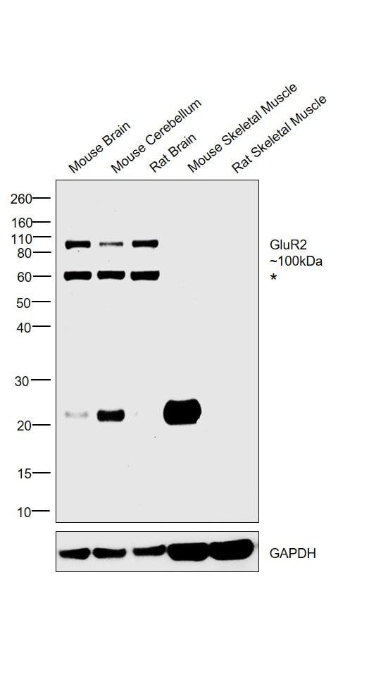 GluR2 Antibody in Western Blot (WB)