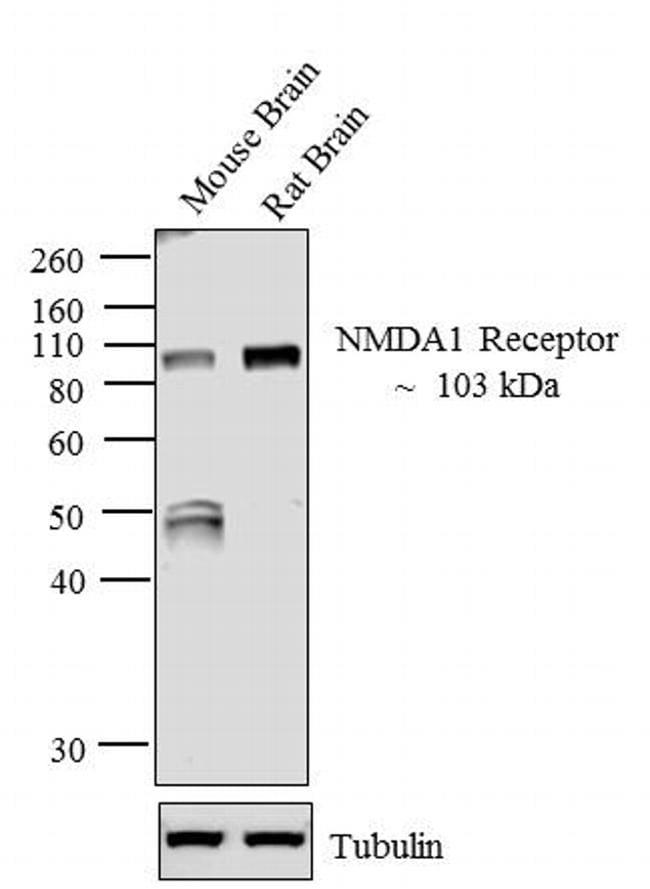 NMDAR1 Antibody in Western Blot (WB)