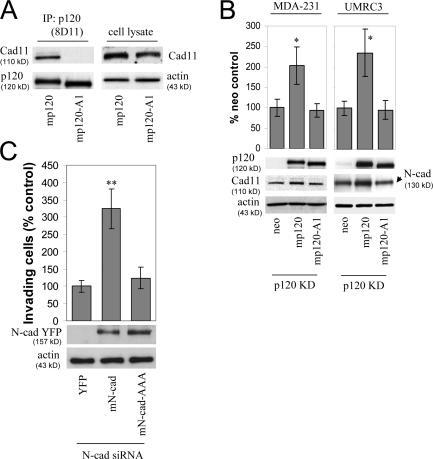 CDH11 Antibody