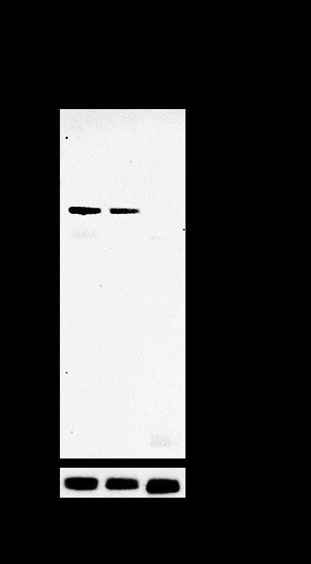 CDH11 Antibody in Relative expression