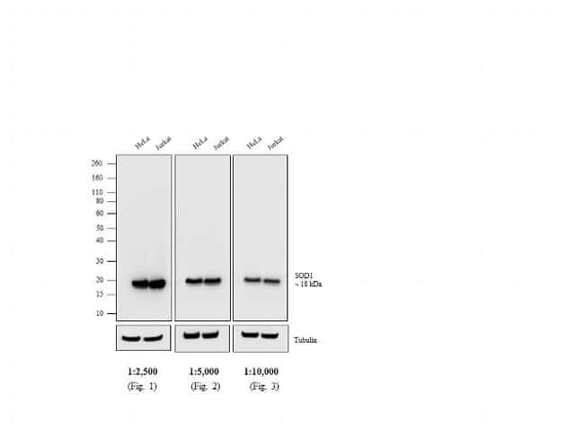 Mouse IgG (H+L) Poly-HRP Secondary Antibody in Western Blot (WB)