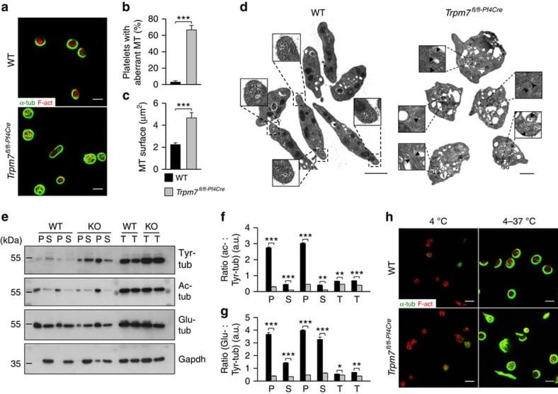 alpha Tubulin Antibody