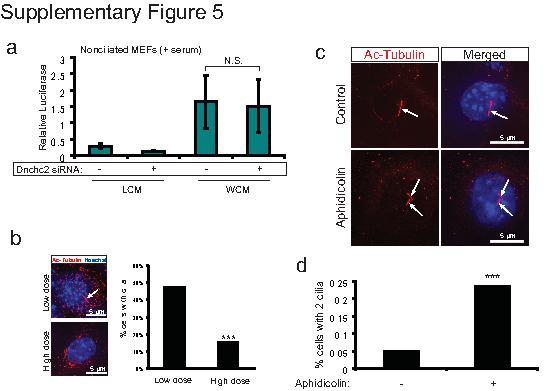 Acetyl-alpha Tubulin (Lys40) Antibody in Immunocytochemistry (ICC/IF)