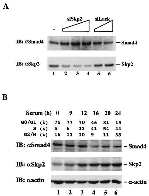 SKP2 Antibody