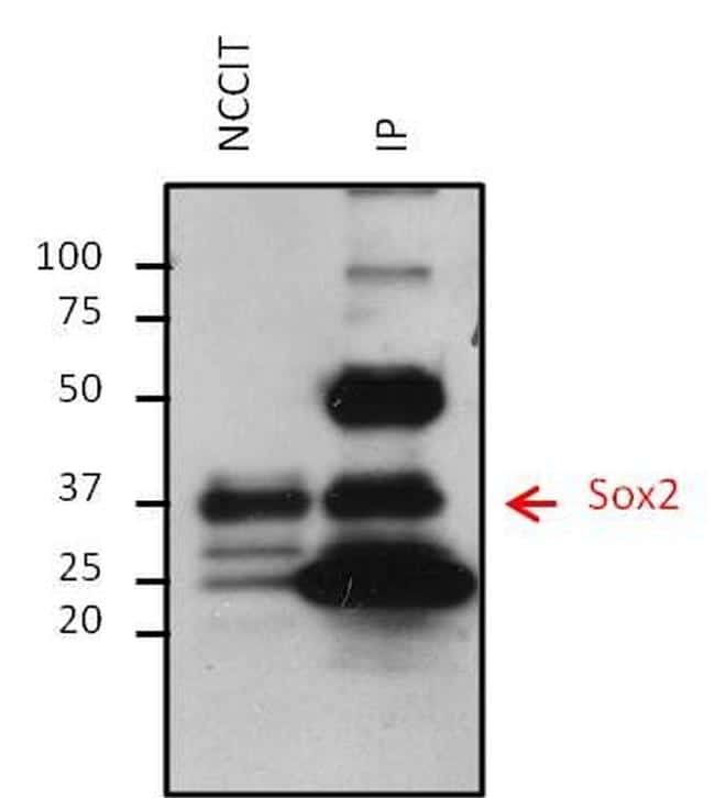 Mouse IgG (H+L) Secondary Antibody in Immunoprecipitation (IP)