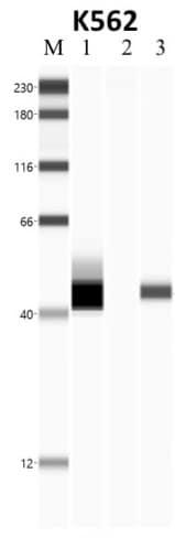 NPM1 Antibody in RNA Immunoprecipitation (RIP)