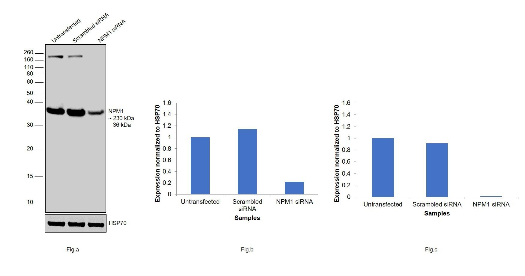 NPM1 Antibody in Western Blot (WB)