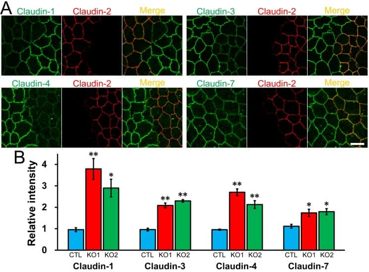 Claudin 2 Antibody
