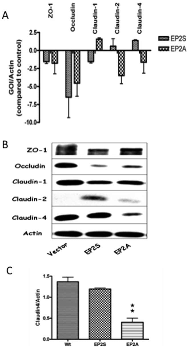 Claudin 4 Antibody