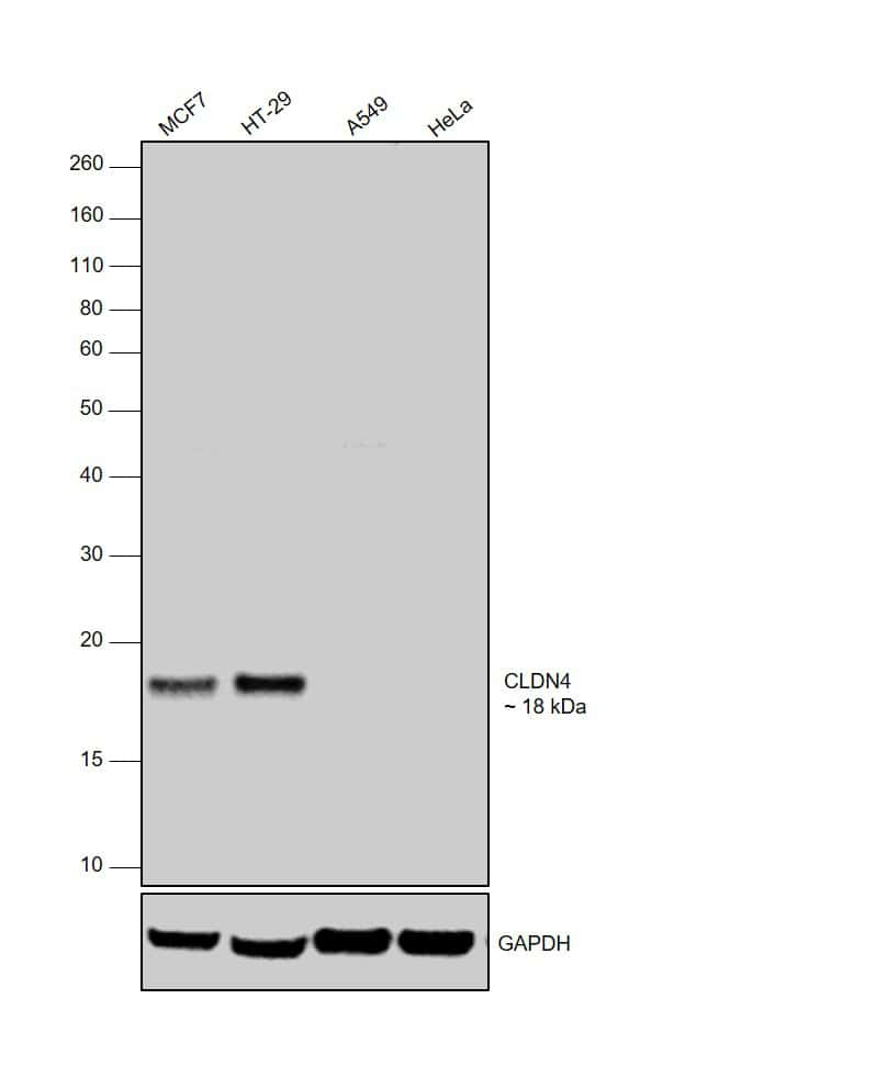 Claudin 4 Antibody in Western Blot (WB)