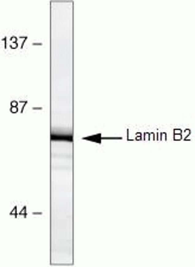 Lamin B2 Antibody in Western Blot (WB)