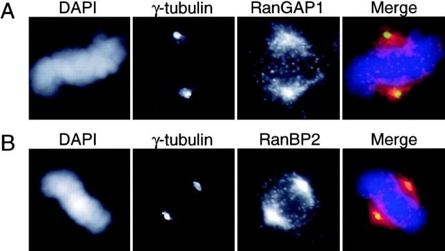 RANGAP1 Antibody