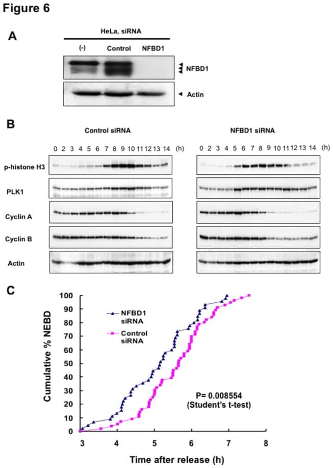 PLK1 Antibody