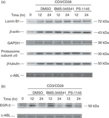 Lamin B1 Antibody