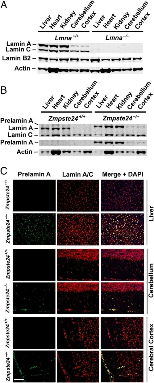 Lamin B2 Antibody