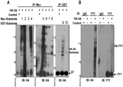 NEDD8 Antibody