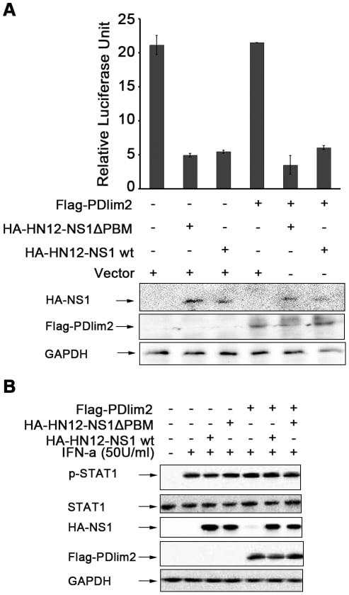 Phospho-STAT1 (Tyr701) Antibody