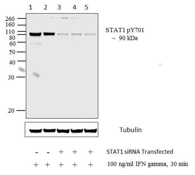 Phospho-STAT1 (Tyr701) Antibody in Western Blot (WB)