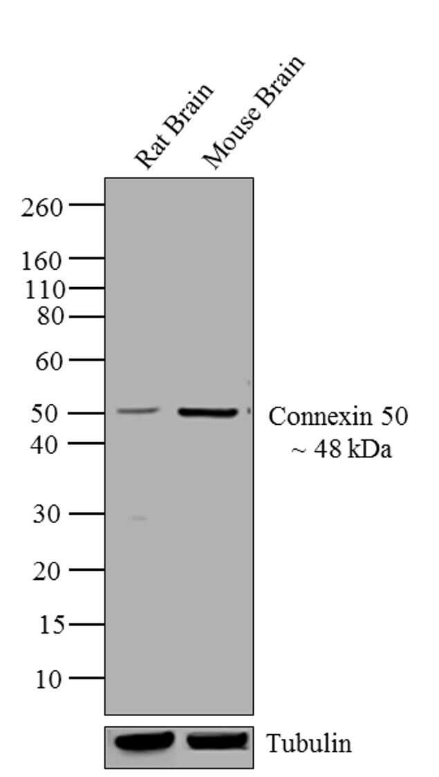 Connexin 50 Antibody in Western Blot (WB)