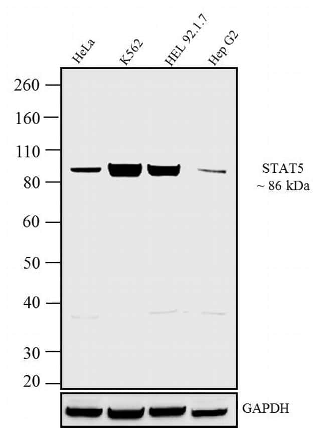 STAT5 alpha/beta Antibody in Western Blot (WB)