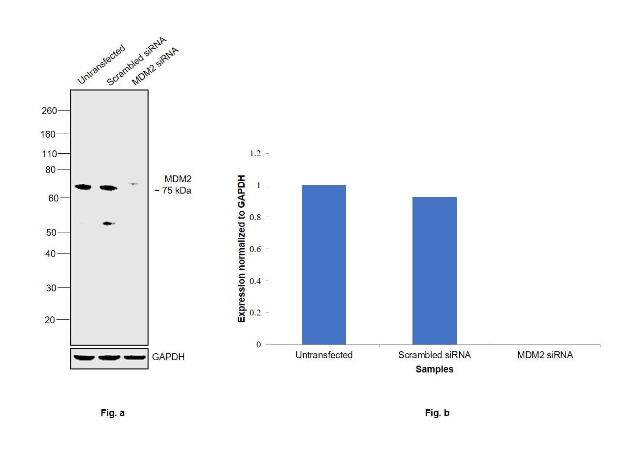 MDM2 Antibody in Western Blot (WB)