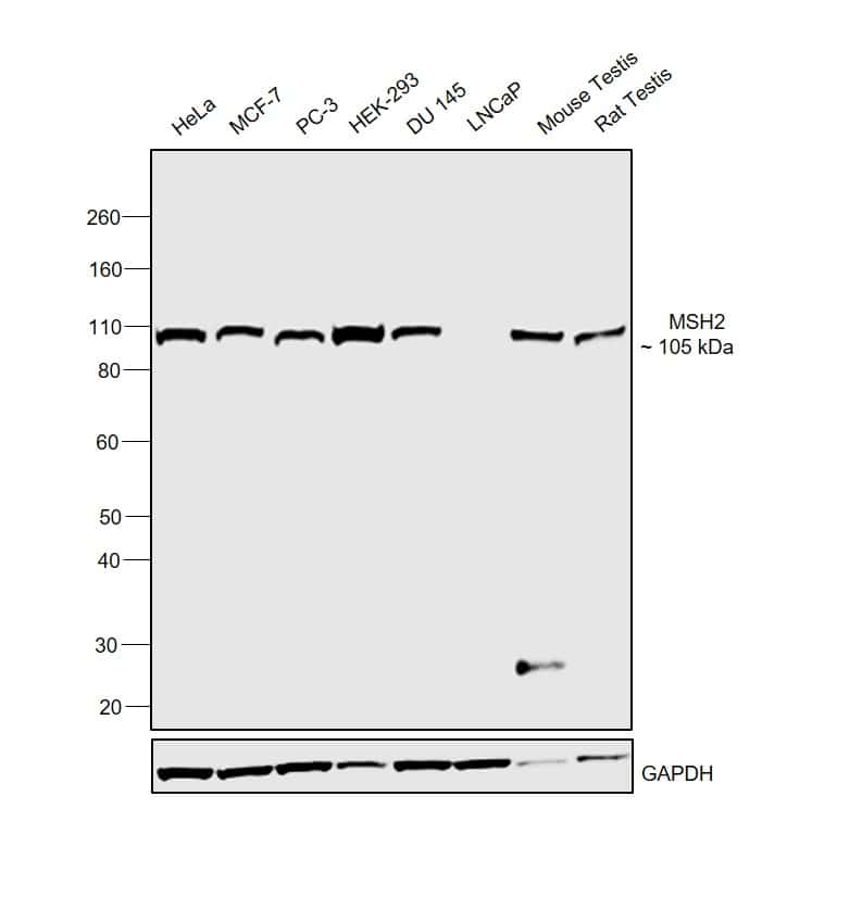 MSH2 Antibody in Relative expression