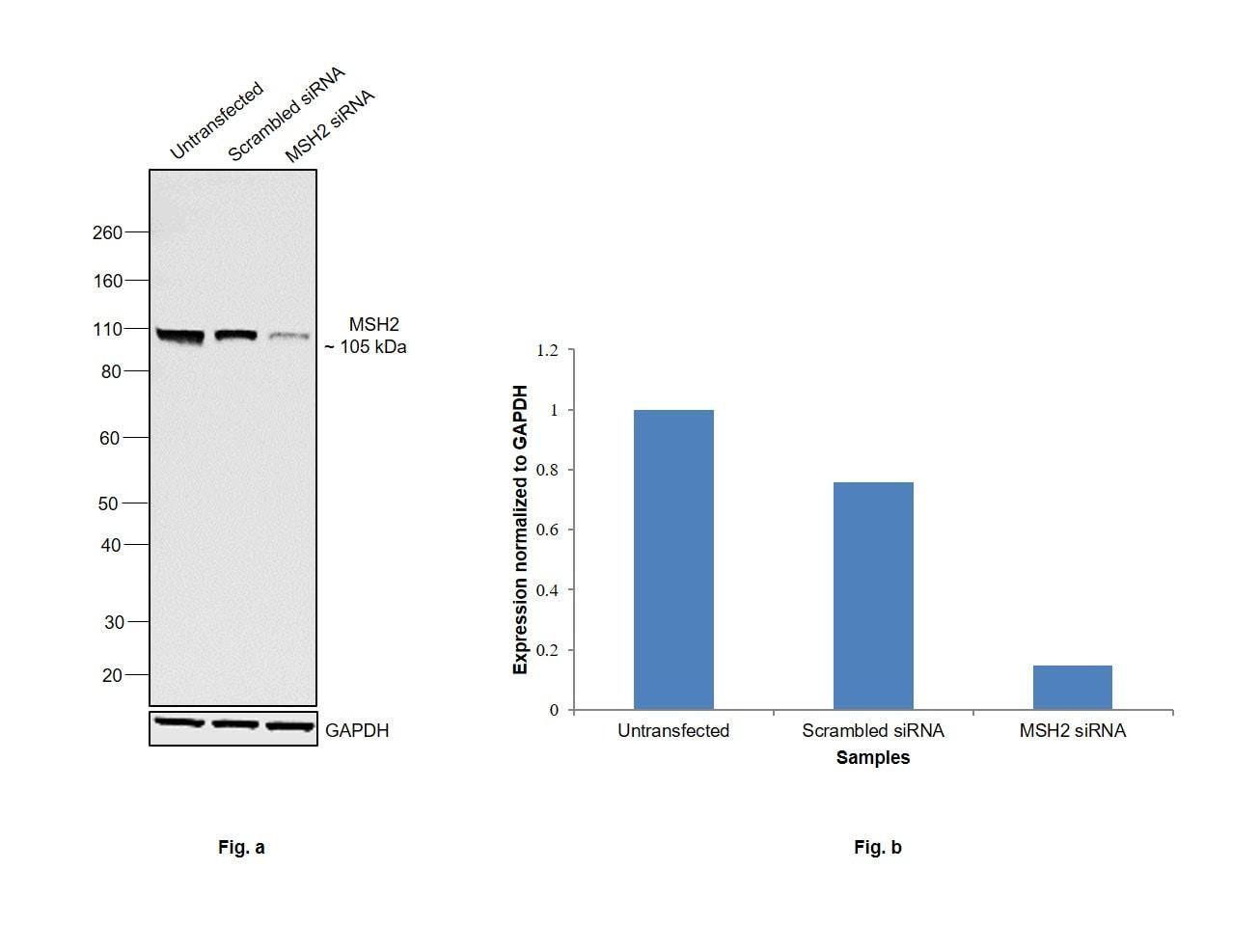 MSH2 Antibody in Knockdown